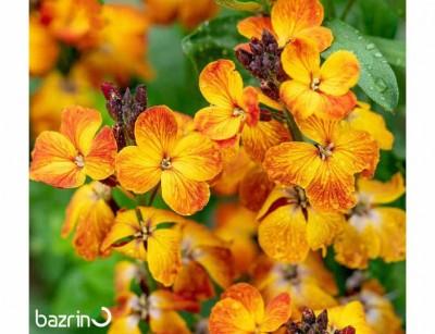 بذر گل شب بو پامتوسط زعفرانی