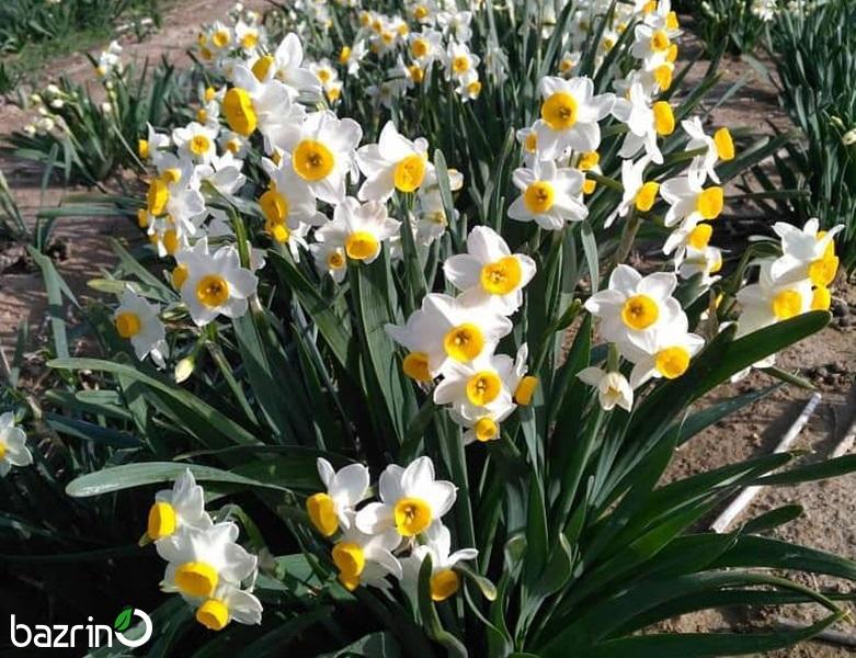 پیاز گل نرگس شیراز 2 عددی
