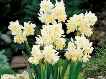 پیاز گل نرگس شصت پر (بسته 1 کیلویی)