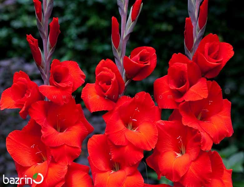 پیاز گل گلایل قرمز ممتاز تکی