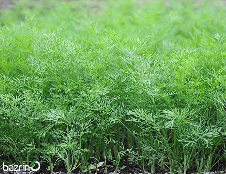 بذر شوید(100 گرمی)