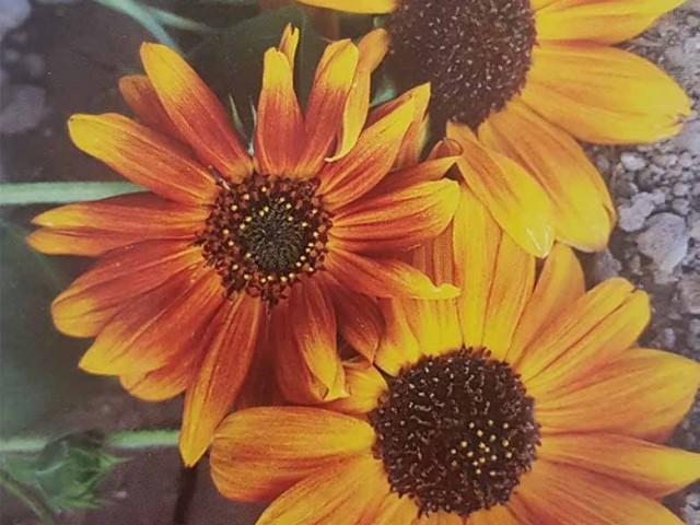 بذر گل آفتابگردان پابلند حنایی