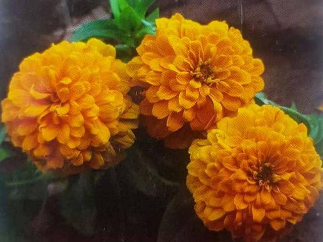 بذر آهار پاکوتاه زرد