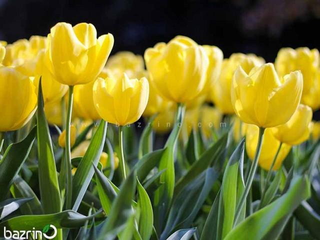 پیاز گل لاله زرد هلندی تکی