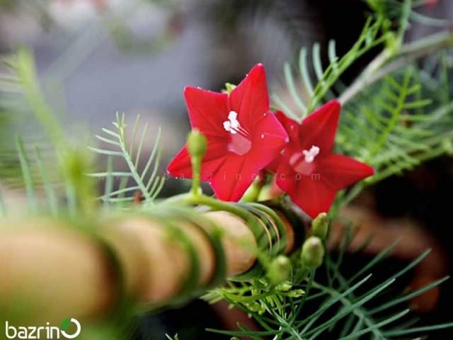 بذر گل پیچک سروتاک قرمز