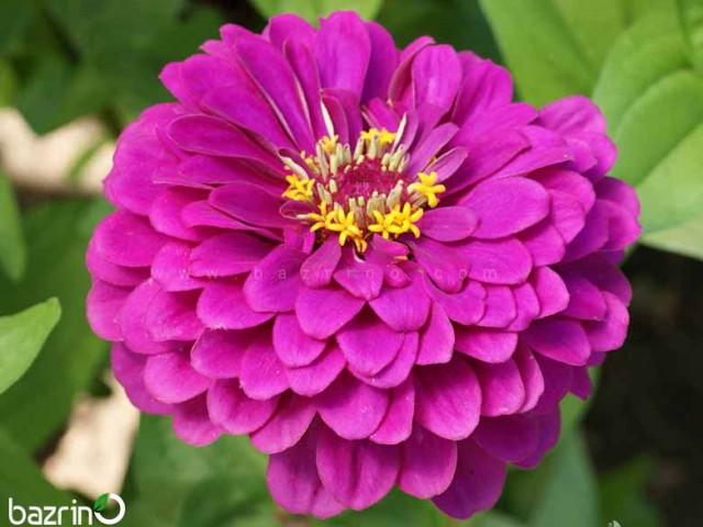 بذر گل آهار سرخابی