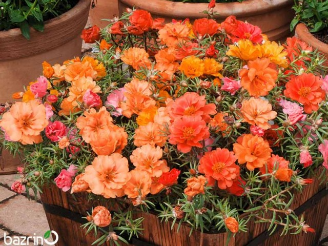 بذر گل ناز نارنجی