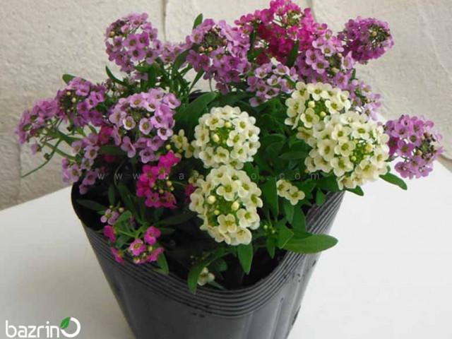 بذر گل آلیسوم الوان (گل عسل)
