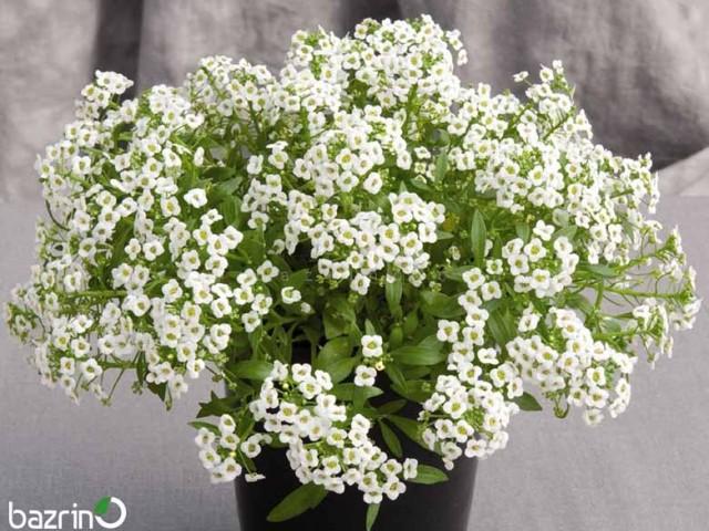 بذر گل آلیسوم سفید (گل عسل)