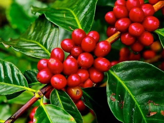 بذر قهوه عربیکا