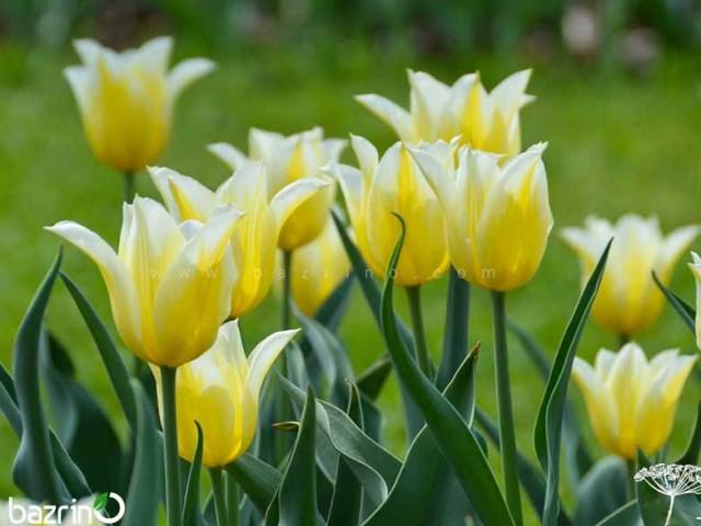پیاز لاله زرد لب سفید (هلندی)