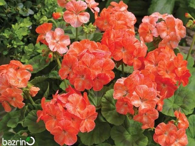 بذر گل شمعدانی نارنجی سفید
