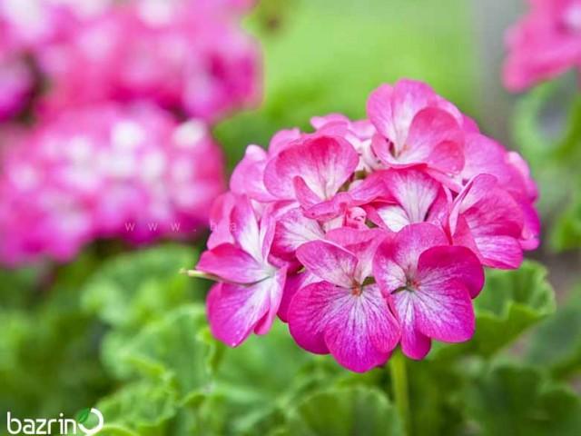 بذر گل شمعدانی بنفش سفید