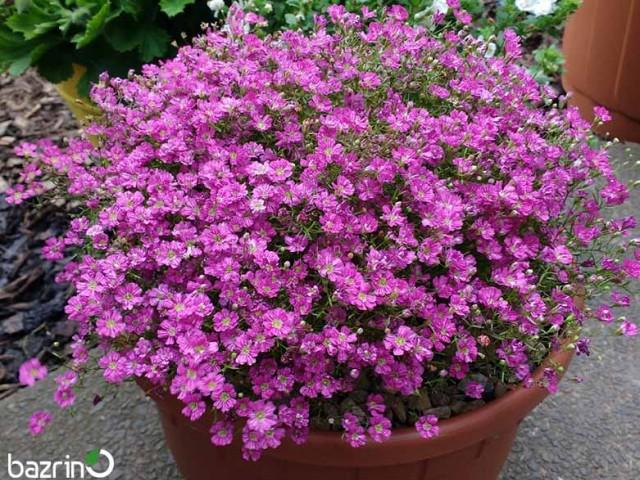 بذر گل ژیپسوفیلا صورتی (گل عروس)