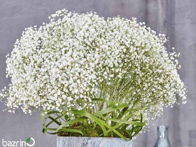 بذر گل ژیپسوفیلا سفید (گل عروس)