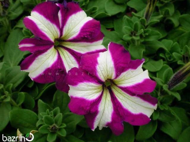 بذر گل اطلسی ارغوانه ستاره