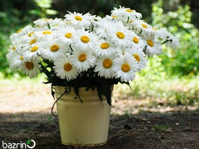 بذر گل مارگریت پابلند سفید