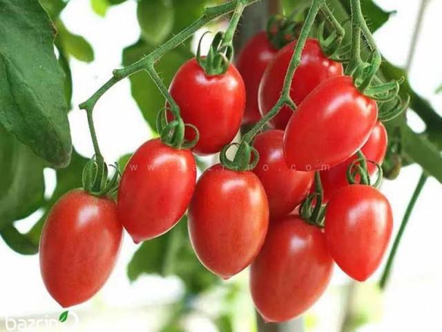 بذر گوجه زیتونی قرمز درختی