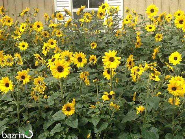 بذر گل آفتابگردان زینتی پا متوسط گل ریز زرد
