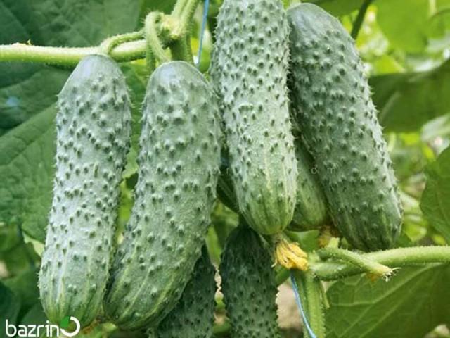 بذر خیار درختی خاردار هیبرید