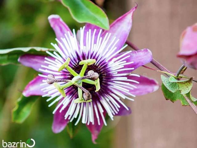 بذر گل ساعتی رونده صورتی