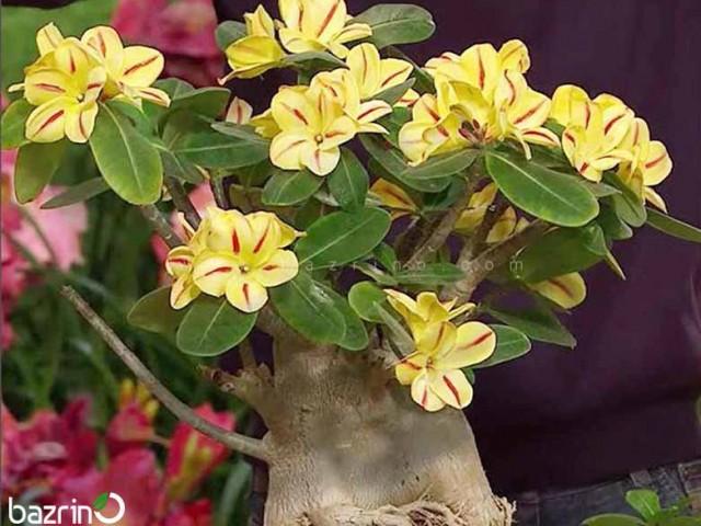 بذر گل آدنیوم زرد