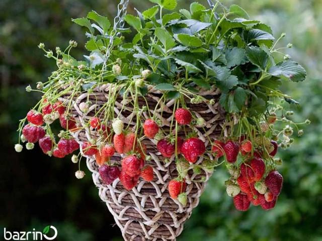 بذر توت فرنگی مینیاتوری