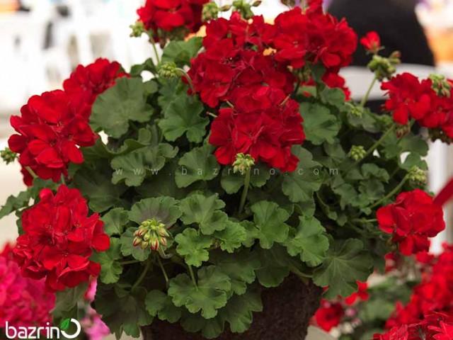 بذر گل شمعدانی پاکوتاه قرمز