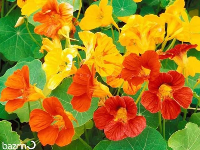 بذر گل لادن الوان