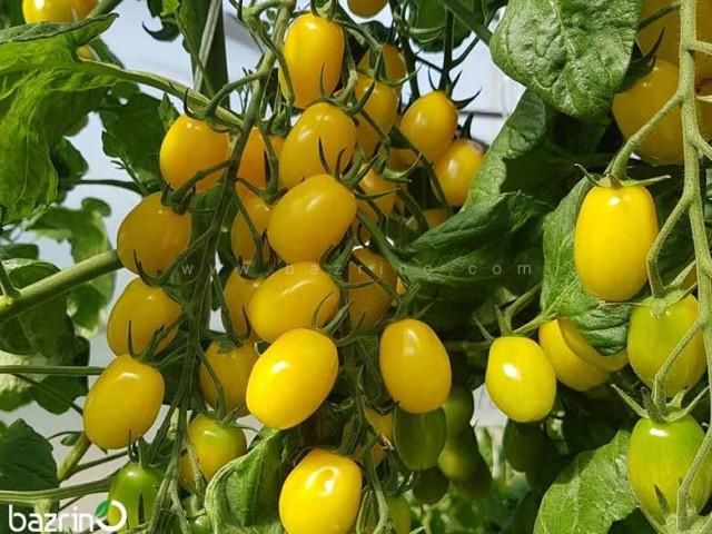بذر گوجه زیتونی زرد درختی