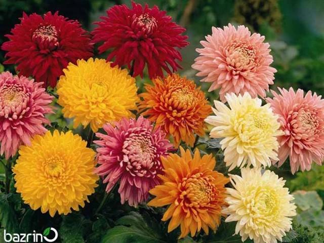 بذر گل داوودی پاکوتاه الوان