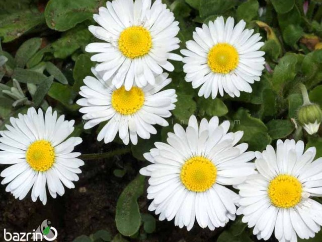 بذر گل مینا پاکوتاه سفید