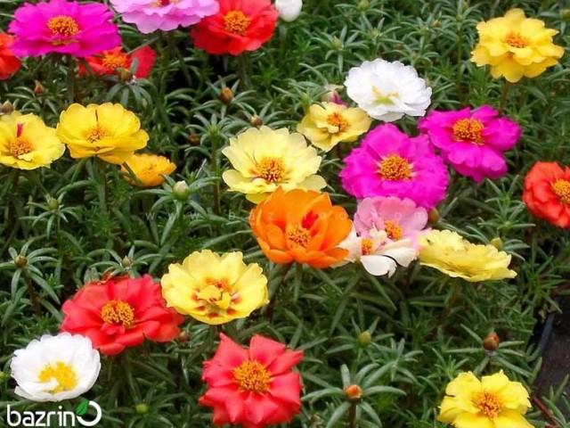 بذر گل ناز آفتابی الوان