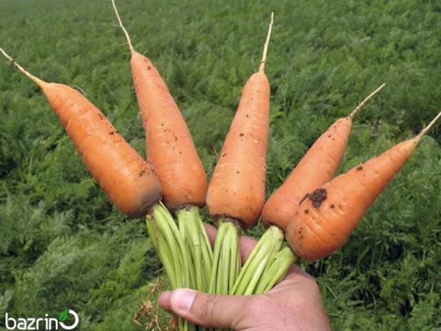 بذر هویج مخروطی