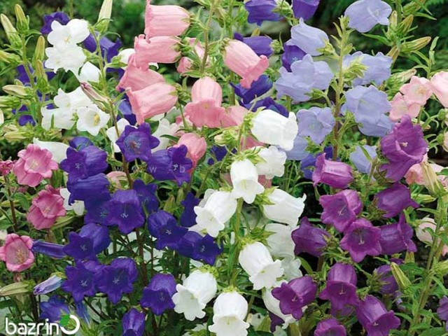 بذر گل استکانی پامتوسط الوان