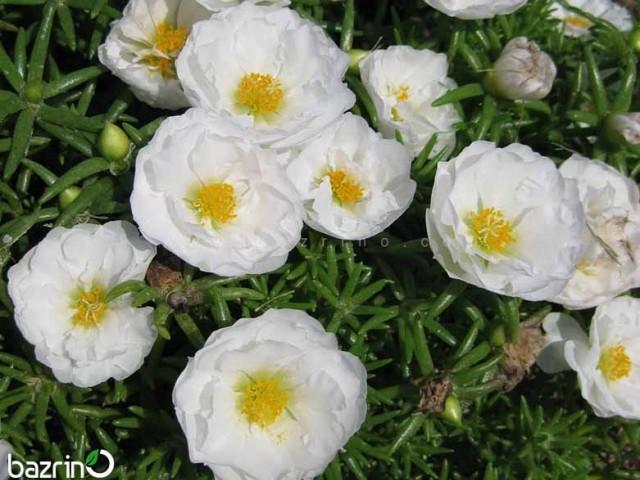 بذر گل ناز آفتابی سفید