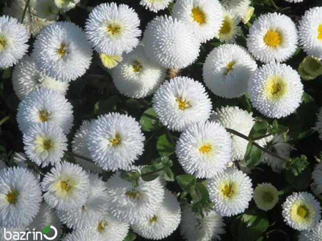 بذر گل مینا چمنی پاکوتاه سفید
