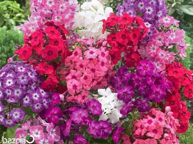 بذر گل فلوکس پاکوتاه الوان