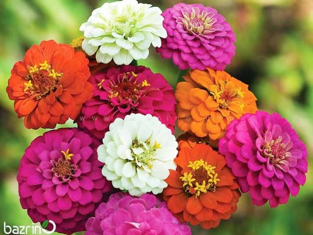 بذر گل آهار پاکوتاه الوان