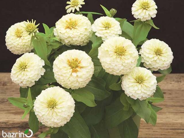 بذر گل آهار پاکوتاه سفید