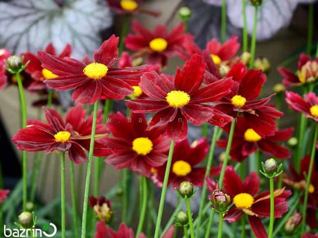 بذر گل اشرفی قرمز