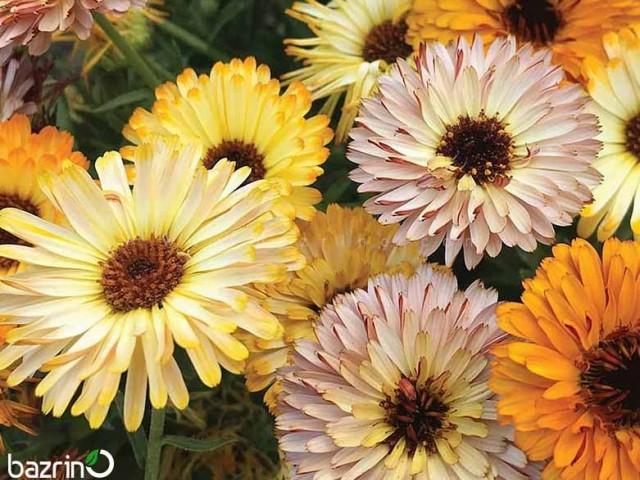 بذر گل همیشه بهار الوان