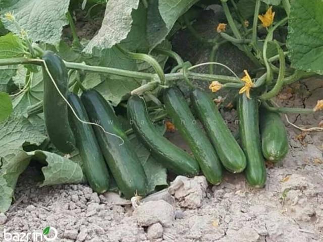 بذر خیارسبز بوته ای هیبرید ممتاز