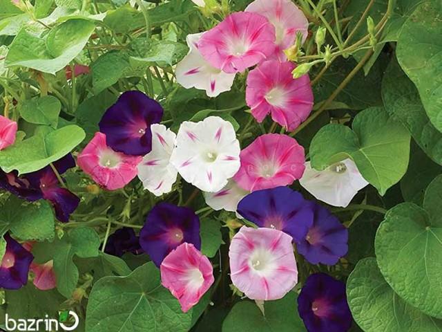 بذر گل نیلوفر رونده الوان