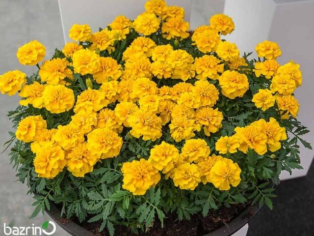 بذر گل جعفری زرد