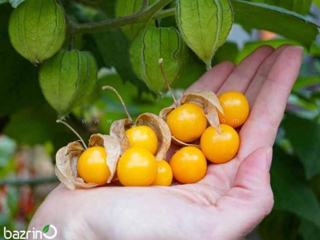 بذر فیسالیس نارنجی