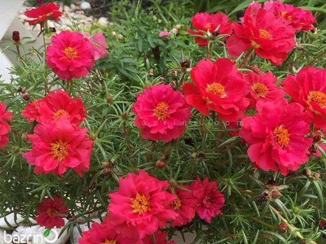 بذر گل ناز آفتابی قرمز