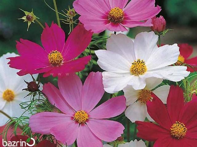 بذر گل ستاره ای الوان