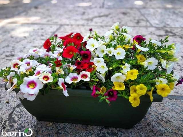بذر گل اطلسی معطر الوان
