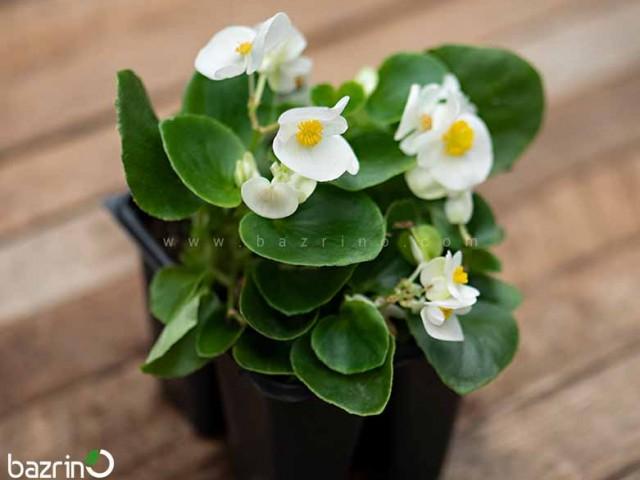 بذر گل بگونیا سوپر المپیا وایت